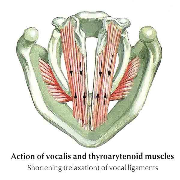 esquema musculos cuerdas vocales