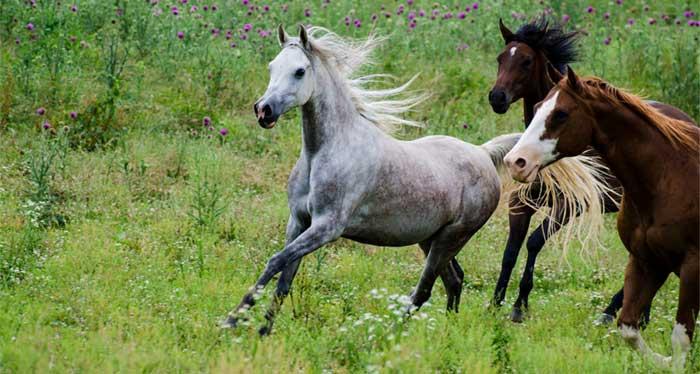 más caballos para tu voz